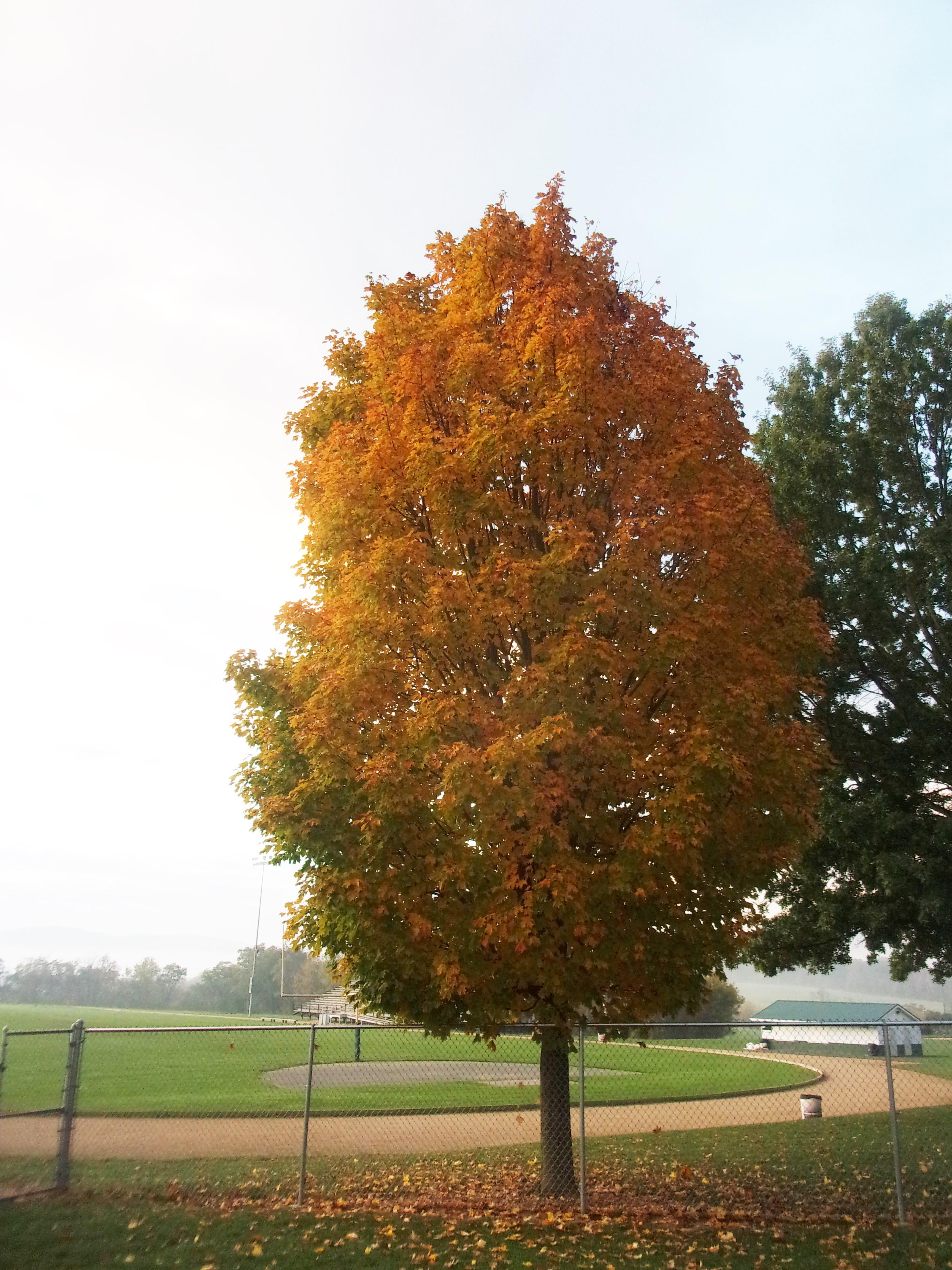 October 17 Sugar Maple Tree